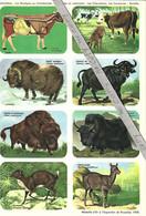 Planche Didactique Hemma - Mammifères : Les Chevrotains, Les Cavicornes : Bovidés - Série 39 - Tableau 45 - Animaux