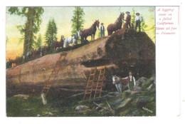 A Logging Team On A Felled CALIFORNIA GIANT, 26 Fett In Diameter - - Sin Clasificación