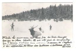YELLOWSTONE PARK - Elk In Winter -1904 - - Yellowstone