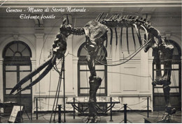 GENOVA (LIGURIA) - Museo Di Storia Naturale - Elefante Fossile - Genova