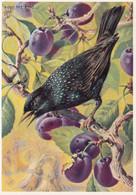 Birds Vogel Oiseau - Starling At Cherry Tree , Spreeuw - Uccelli