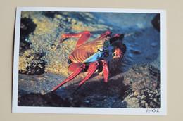 Ecuador CP Crabe Des Galapagos Crab Cangrejo Timbrées Chapeau De Paille Sombrero De Paja Toquilla Equateur - Fish & Shellfish