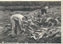 Bohan  La Récolte Du Tabac Semois - Vresse-sur-Semois
