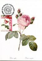 15197083 BE 19970707 Bx; Roses; Rosa Centifolia, Rosier à 100 Feuilles; CM Cob2710 - Rosas