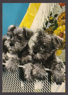 089685/ Chiens Type Schnauzer - Cani