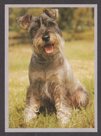 089686/ Chien Type Schnauzer - Cani