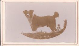 Photo C D V XIX E Portrait D'un Chien Peut être De Chasse ? Circa 1890 Réf 2709 - Alte (vor 1900)