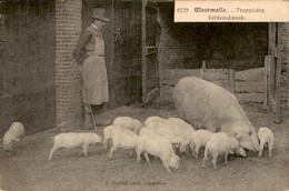 België - Westmalle - Trappisten - Verkenskweek - Varkens - 1920 - Zonder Classificatie