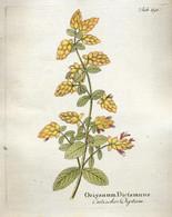 Origanum Dictamnus Antique Print , 1818.  21*17 Cm Colored Copper Engraving - Non Classés
