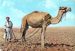 Asie-Jordanie JORDAN   Ploughing Camel (chameau Labour Plowing)  *PRIX FIXE - Jordan