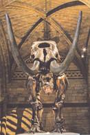 Postcard - Natural History Museum - American Mastodon, Mammut Americanum, 37.000 Years Old -  New - Musei