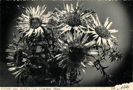 Editions D'art ROBY , Flore Des Alpes , Le Chardon Blanc , * M 25 11 - Zonder Classificatie