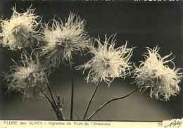 Editions D'art ROBY , Flore Des Alpes , Aigrettes De Fruits De L'anémone , * M 25 19 - Zonder Classificatie