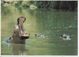 Hippopotame (carte Vierge) - Hipopótamos