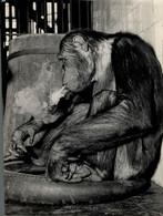 MONKEY SMOOKING FOTO HENK NIEUWENHUIJS AMSTERDAM     27*17CM ANIMALS DIEREN ANIMAUX MONOS MONKEYS SINGES AFFEN - Sonstige