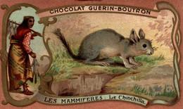 CHROMO CHOCOLAT GUERIN BOUTRON LES MAMMIFERES LE CHINCHILLA - Guerin Boutron