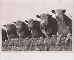 BOVINE BEAUTY, OVERBURY ESTATES 1952  20*15cm ANIMALES ANIMALS LES ANIMAUX BOVINE VACAS - Andere