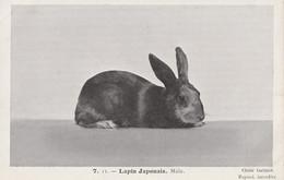 LAPIN JAPONAIS Male - Other