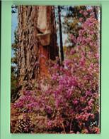 40----LES LANDES--pins Bruyère Et Calme---voir 2 Scans - Unclassified