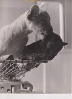 GEZWOREN KAMERADEN, IN DE AMSTERDAMSE DIERENTUIN 17*23cm ANIMALES ANIMALS LES ANIMAUX FELINES FELINS - Sonstige
