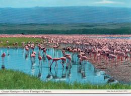 Luzaka Flamnts Roses Greater Flamingoes Zambie Zambia - Zambia