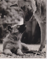 GERMAN SHEPHERD  20*24cm ANIMALES ANIMALS LES ANIMAUX DOGS CHIEN PERROS - Andere