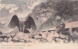 Oiseaux : CONDOR : Condores En La Guardia Vieja - Chile : Condor Dans La Vieille Garde - Chili : Colorisée - Pájaros