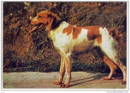 CHIEN, Dog, Hund - SPAGNEUL BRETON - Dogs