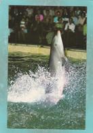 Small Postcard Of Dolphins At Brighton Aquarium,Sussex,Y115. - Delfini