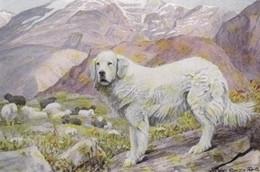 Chien Des Pyrenees, Mountendog Montagne Hunde, Chiens  Cani. Modern Dog  Postcard. - Perros