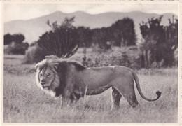 CONGO BELGE / BELGISCH KONGO / LAKE EDWARD / LION - Congo Belga - Otros