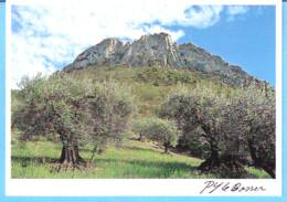 Buis Les Baronnies-Drôme-Plantation D'oliviers Au Pied Du Saint-Julien-Photo P.Y Le Bosser-1993 - Buis-les-Baronnies
