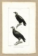Antique Print Gravure Par Pauquet Histoire Buffon Biology Fauna Ornithology Bird Eagle Petit Aigle Pyguargue Bald Eagle - Prenten & Gravure