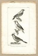 Antique Print Gravure Par Pauquet Histoire Buffon Biology Fauna Ornithology Bird Waxwing Big Beak Cross Beak Jaseur Gros - Prenten & Gravure