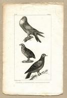 Antique Print Gravure Par Pauquet Histoire Buffon Biology Fauna Ornithology Bird Quail Biset Pigeon Fat Throat Pigeon - Prenten & Gravure
