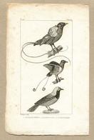 Antique Print Gravure Par Pauquet Histoire Buffon Biology Fauna Ornithology Bird Peruvian Jay Manucode Magnificent - Prenten & Gravure