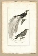 Antique Print Gravure Par Pauquet Histoire Buffon Biology Fauna Ornithology Bird The Bird Of Paradise - Prenten & Gravure