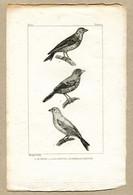 Antique Print Gravure Par Pauquet Histoire Buffon Biology Fauna Ornithology Bird Canary Linnet Bengali Piquete - Prenten & Gravure
