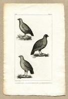 Antique Print Gravure Par Pauquet Histoire Buffon Biology Fauna Ornithology Bird  Partridge Perdrix - Prenten & Gravure