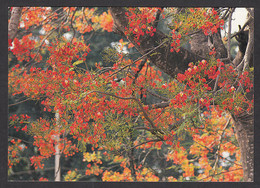093082/ Flamboyant - Bäume