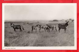 KENYA  EAST AFRICAN GAME ZEBRA  RP - Cebras