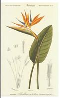 Grande Image - Fleur Exotique Streliza,  Botanique, Histoire Naturelle, Plante Tropicale, Oiseau De Paradis - Otros