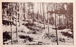 Cartolina - La Sila Illustrata - Taglio Di Pini - 1921 - Cosenza