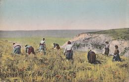 Agriculture - Macédoine - Macedonia - Fauchage Des Blés - Récolte - Reaping With Scythes - Landwirtschaftl. Anbau