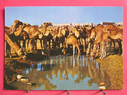 Israël - Beer Sheva - Camels At Watering Place - Très Bon état - R/verso - Israel