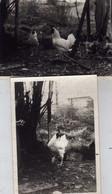2 Photos Animaux - Poules - Coq - Basse-cour Bourbonnaise Années 70 - Barantan  Le Vernet Allier - Unclassified