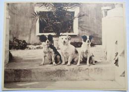 PHOTO ANNEES 1920 TROIS CHIENS DEVANT PALMIER - Unclassified