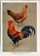 Fort - Hanen En Hennen - Coqs Et Poules - Roosters And Hens, Kippen, Poulets, Chickens - 33 - Unclassified