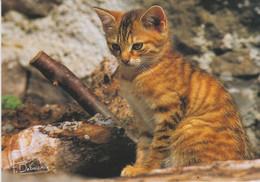 Chat, De F. Debaisieux  - - Cats