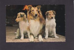 Dog Card  -   Three Sheltie Type Dogs.  Bamforth RPPC.    1971. - Perros